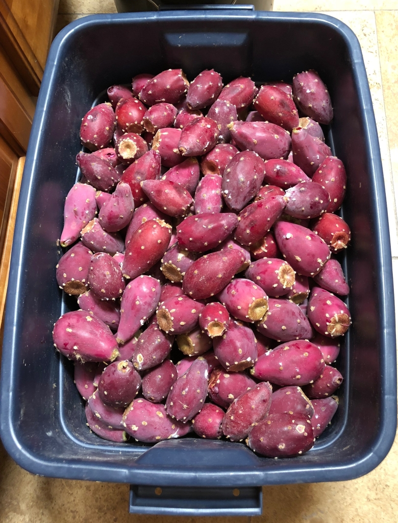 Prickly Pear Fruit Harvested for Hard Cider