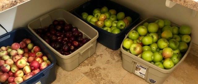 Apple Harvest for Making Hard Cider