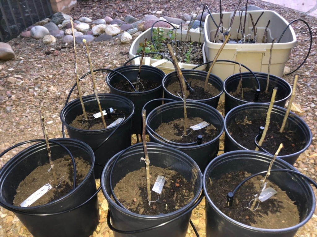 Propagating Rootstocks and Grafted Scion for plating.