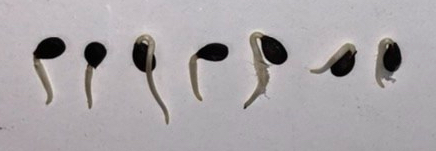 Example of Sprouted Apple Seeds