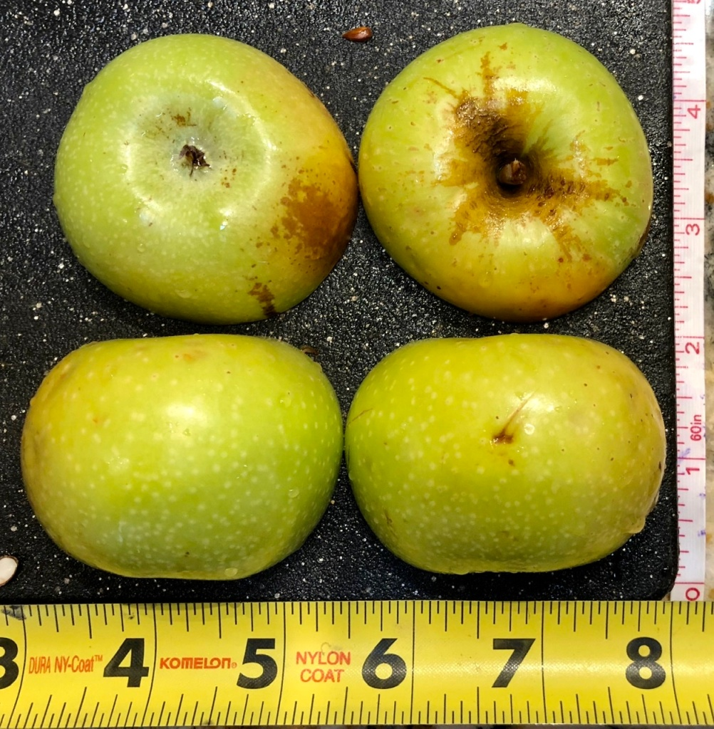 Heirloom Apple: Newtown Pippin