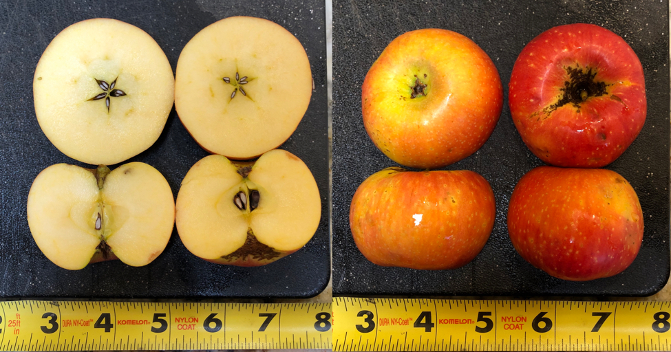 Super Yellow: An Apple of a Unknown Origin