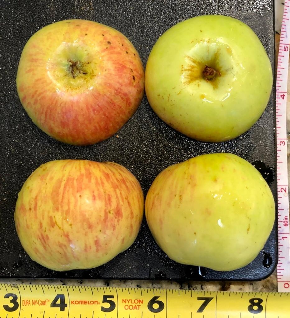 Heirloom Apple: Gravenstein