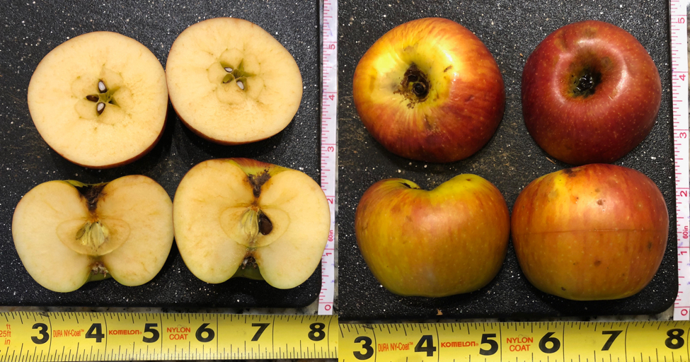 Red Rootstock: An Apple of Unknown Origin
