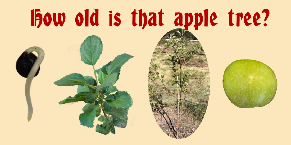 Apple Tree Age