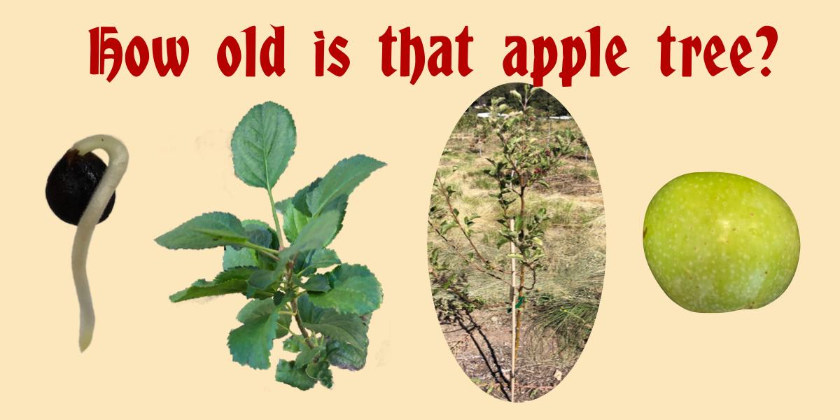 Apple Tree Age