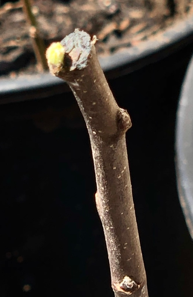Old Fashion Limbertwig Graft: Budding (It Lives!)
