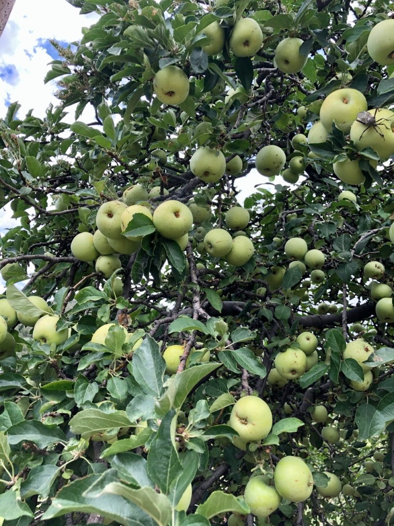 Earligold Apple Tree