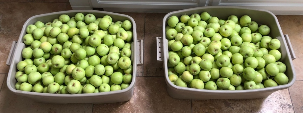 Earligold Apples: First Fruits of the Season