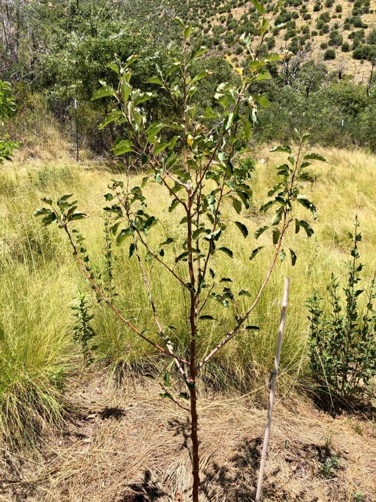 Harrison Apple Tree: Heirloom American Cider Apple