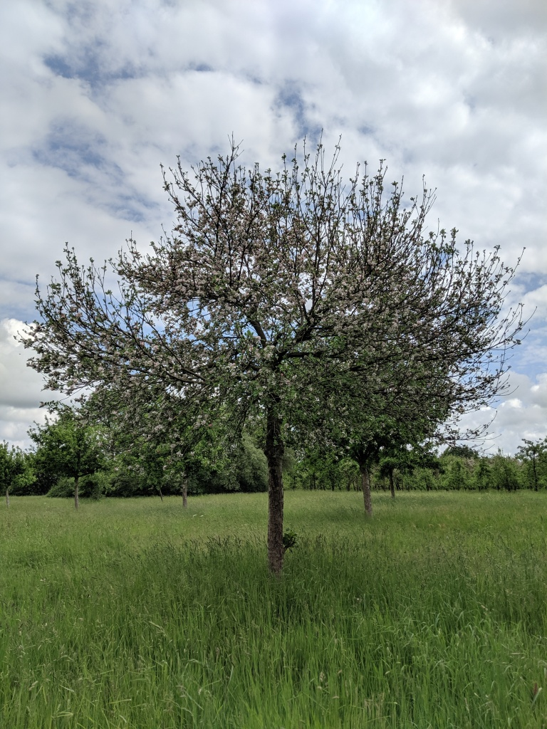 Apple Tree: North Down Farm