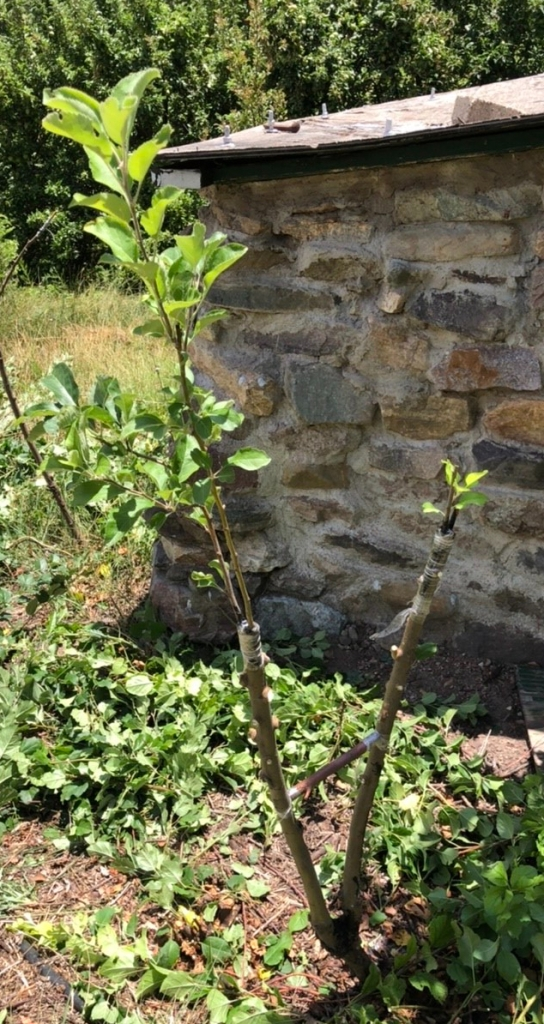 Grafted Apple Tree: Super Yellow