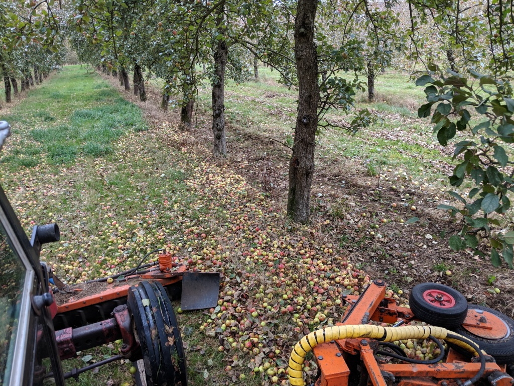 Harvesting Apples! North Down Farm in South Somerset
