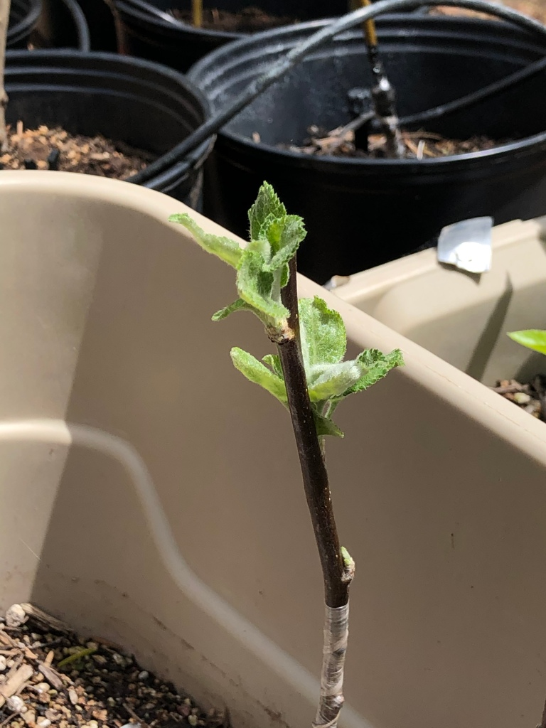 Apple Scion Growing