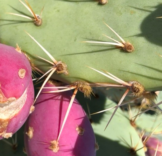 Prickly Pear Spines! Large and Hairlike Types
