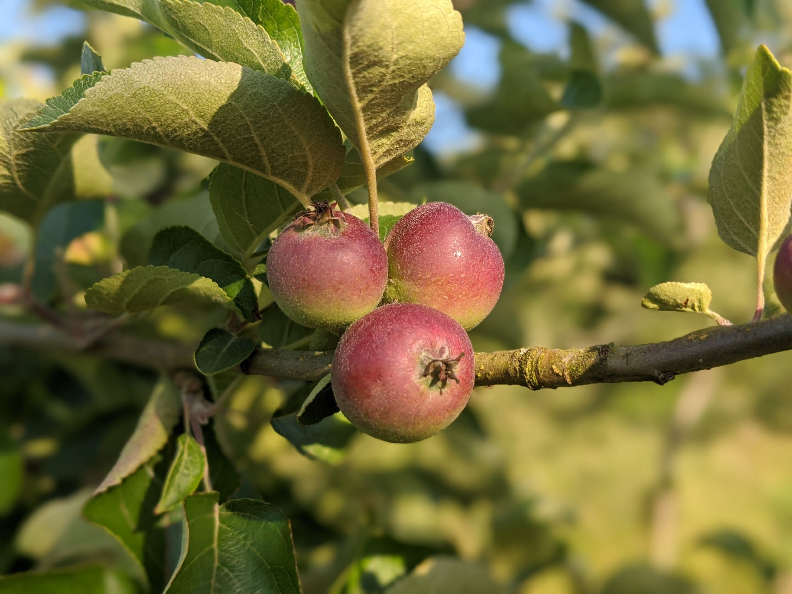 Early Growing Apples