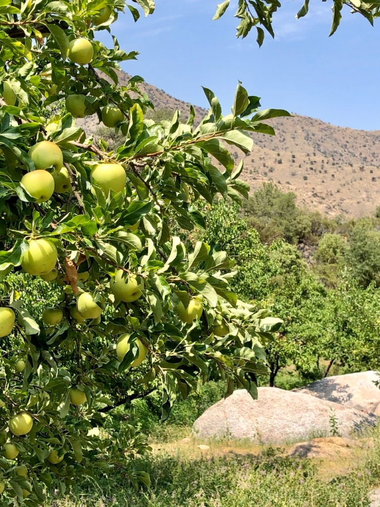 Angle Orchard: Safford Arizona