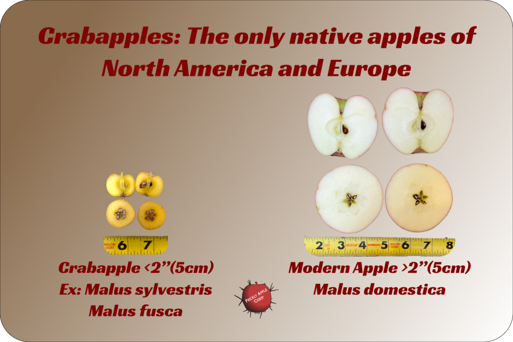 Crabapples: The only types of apple native to North America and Europe.