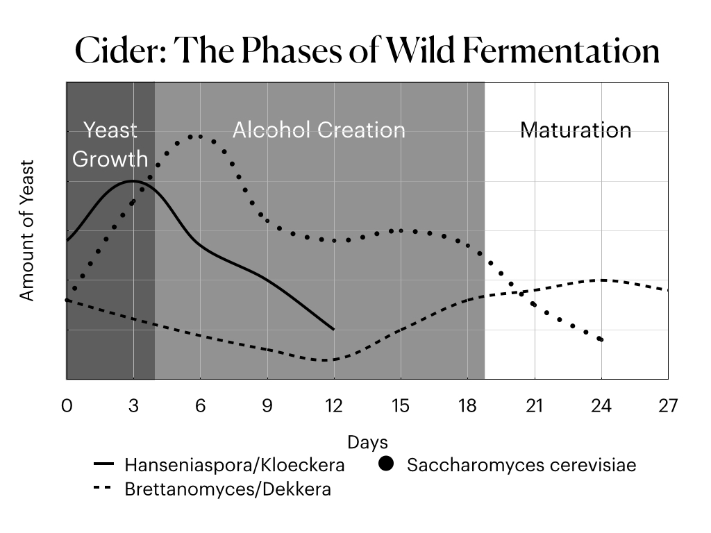 The phases of a wild/natural cider fermentation