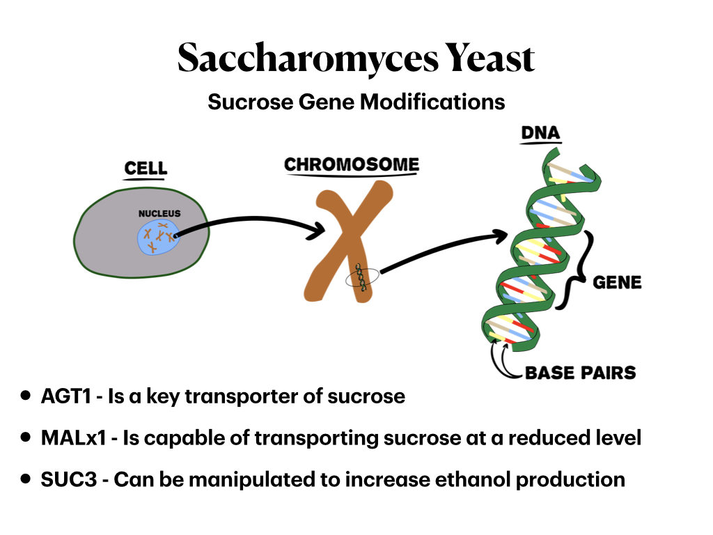 Modifying genes in yeast can impact how it processes sucrose.