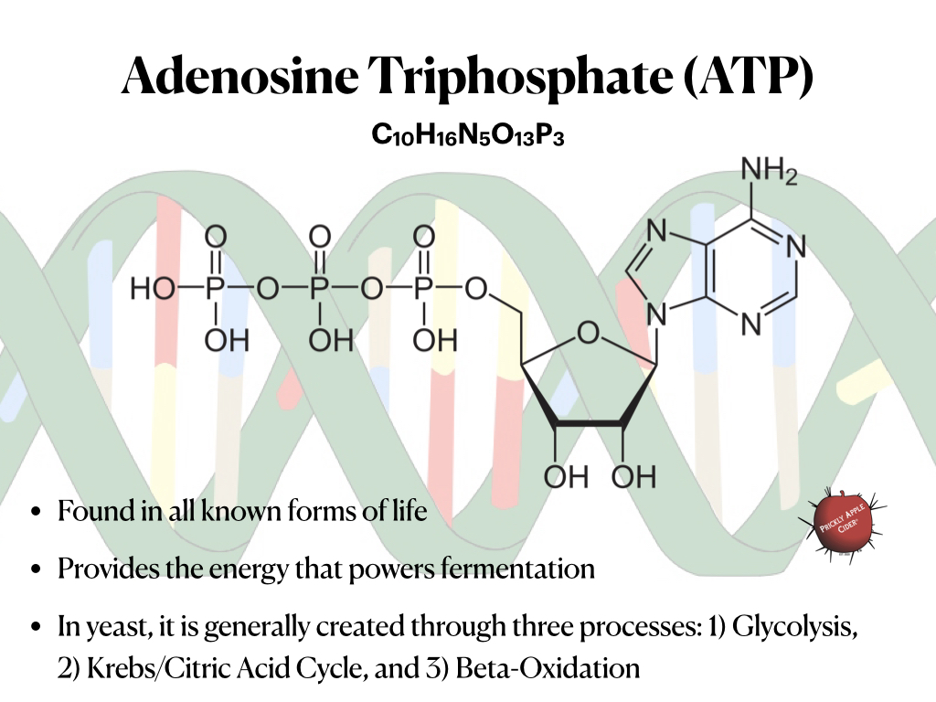 ATP: The energy used to power fermentation