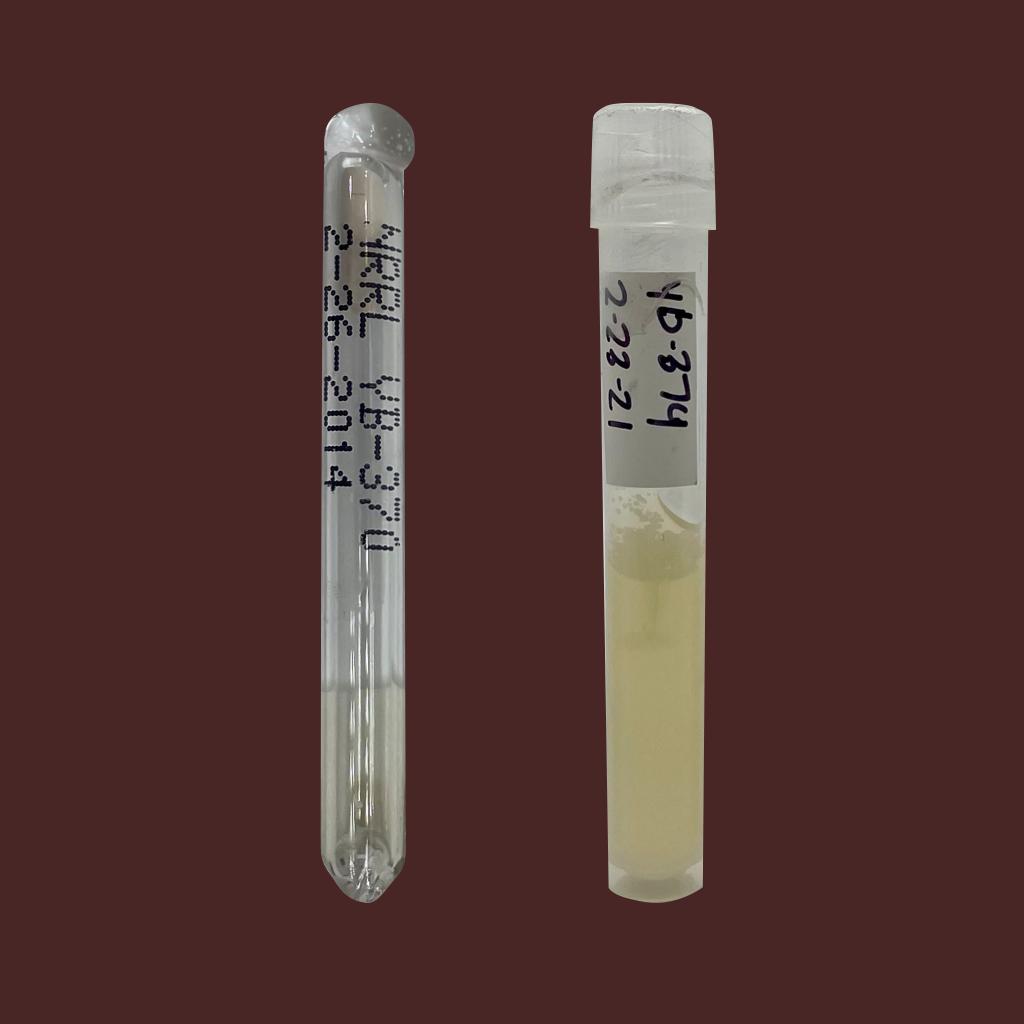 Candida zemplinina Yeast sample from the USDA.