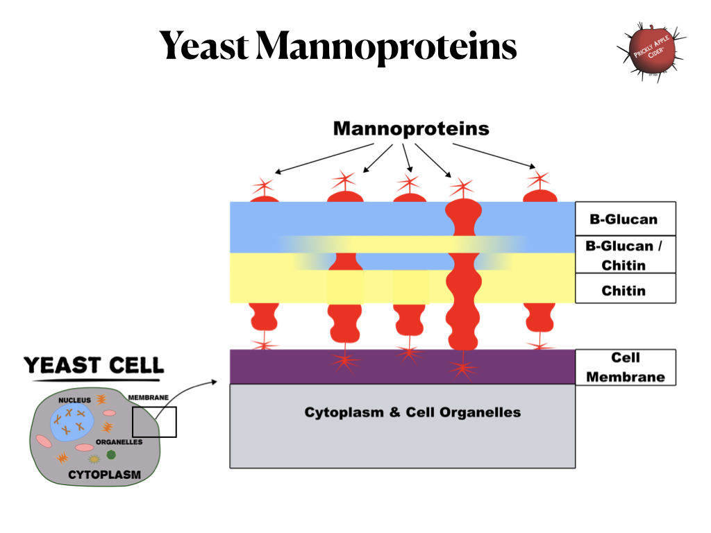 Yeast Cell Wall - Mannoprotein Structure