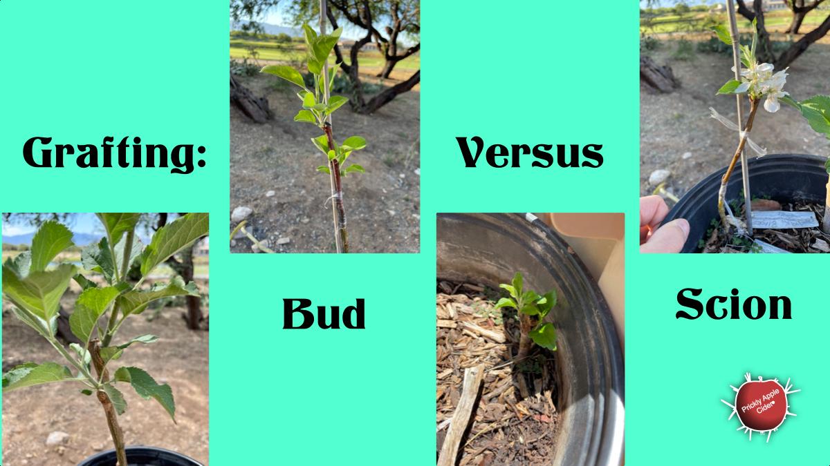 Grafting: Bud Versus Scion