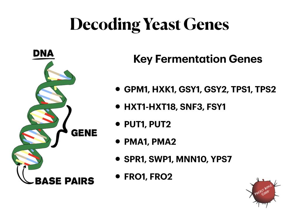 Key Genes for Fermentation