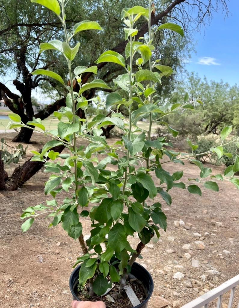 Roxbury Russet Bud Grafts: ~2 Months Growth