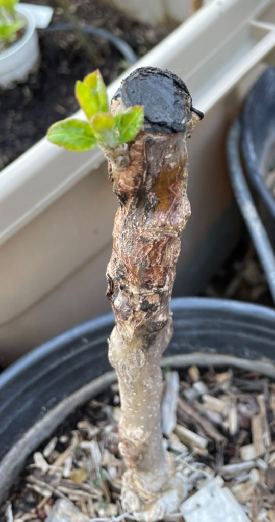 Roxbury Russet Bud Graft: Initial Growth
