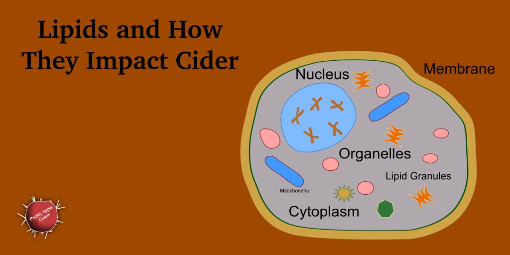How lipids impact the cider fermentation process.