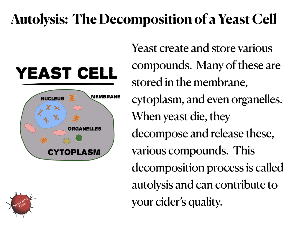 Autolysis: The decomposition of yeast cells.